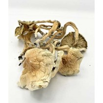 Psilocybin *Golden Teachers*